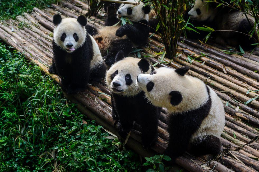Instytut Hodowli Pandy Wielkiej w Czengdu