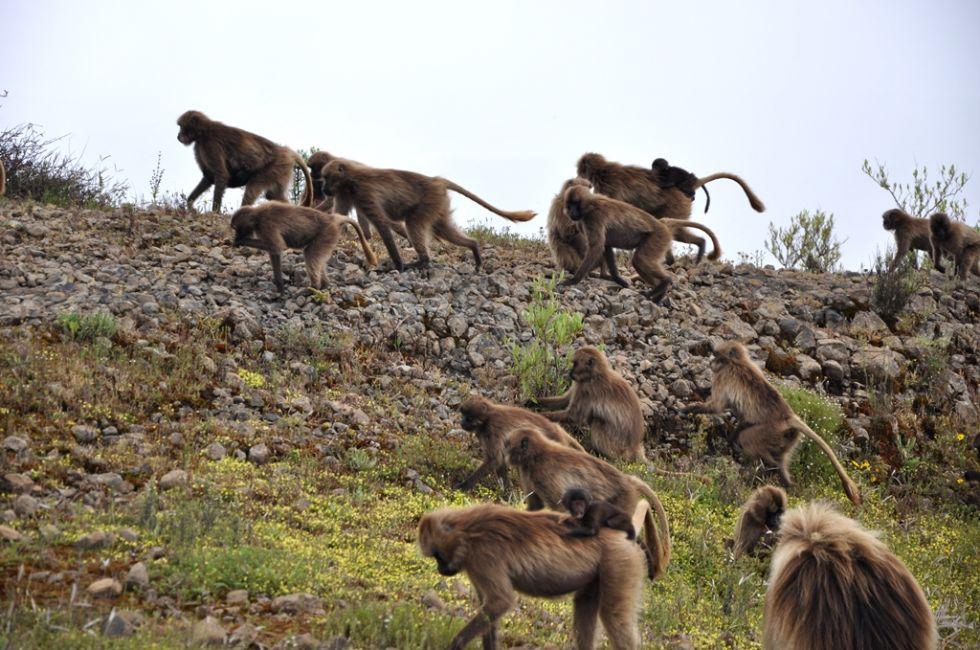 dżelady - trawożerne małpy w etiopii