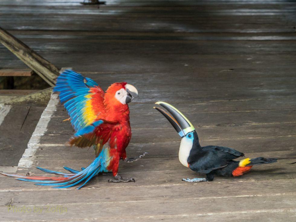 papugi-w-ameryce-poludniowej