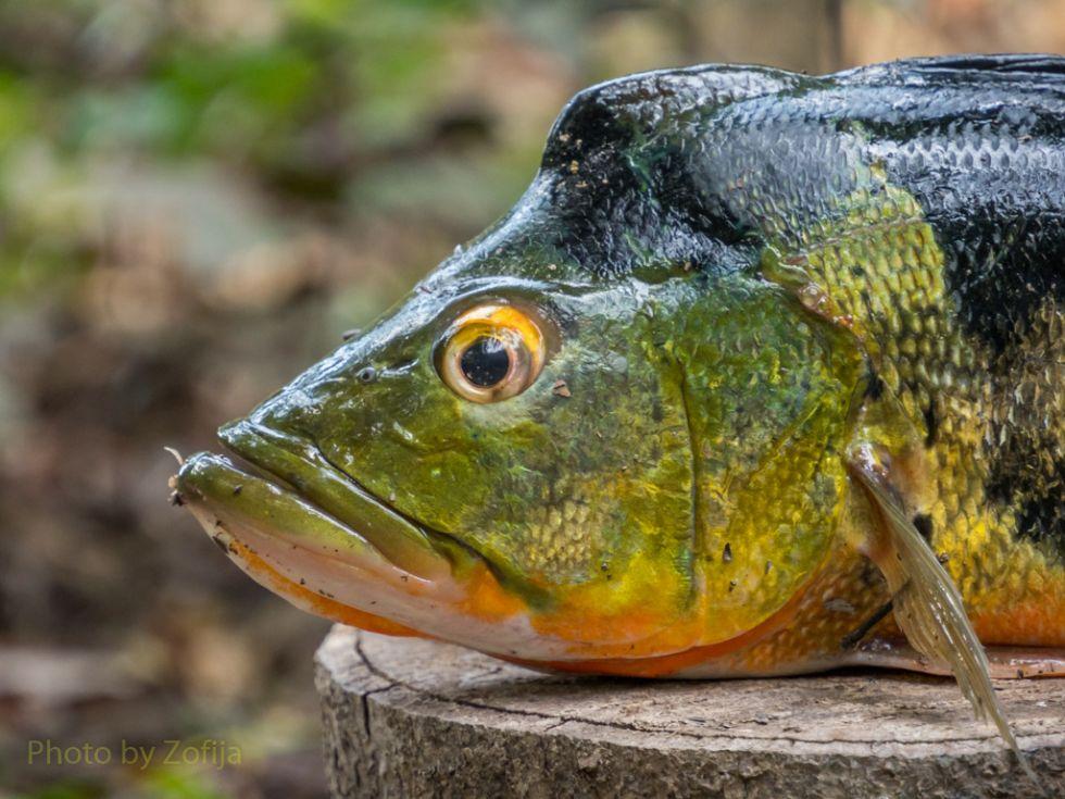 ryby-amazonki