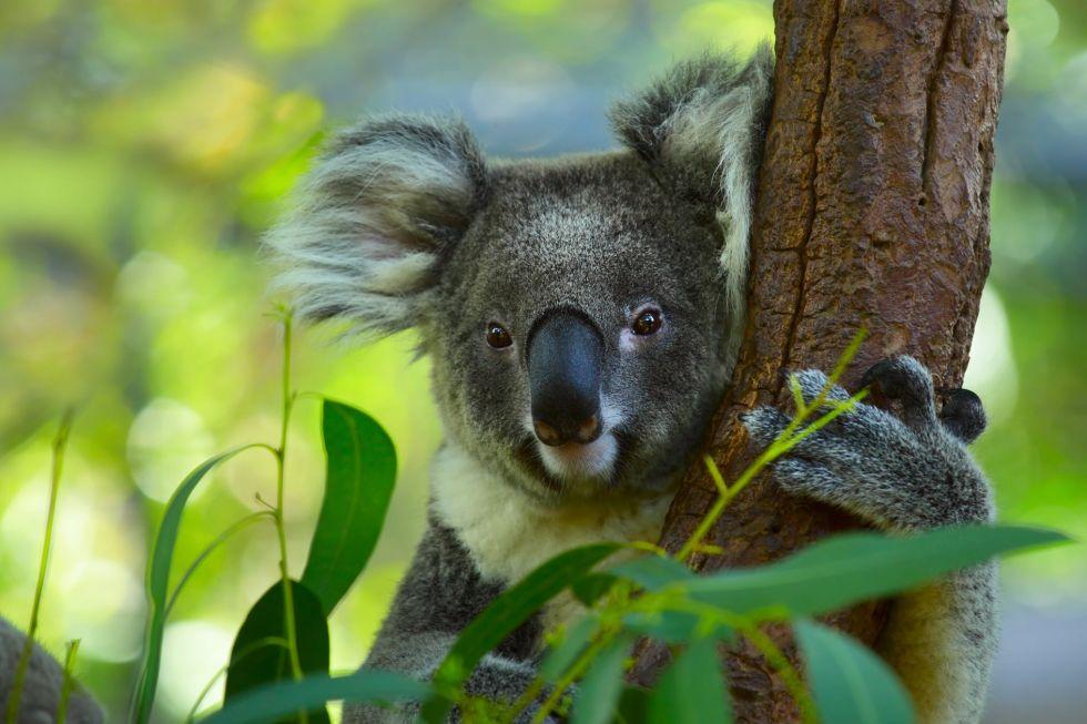 mis koala