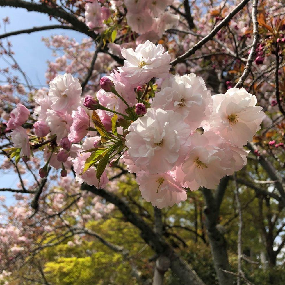 charakterystyczne dla japoni kwitnace wisnie