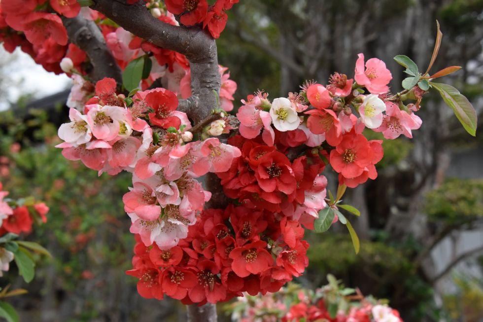 kwitnace wisnie w japoni