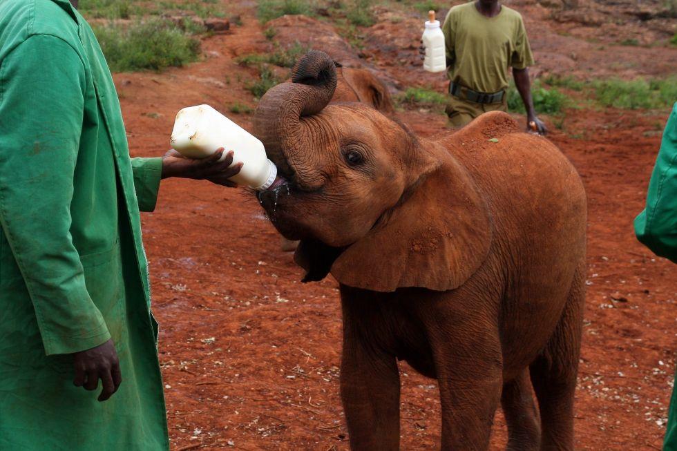 karmienie sloni