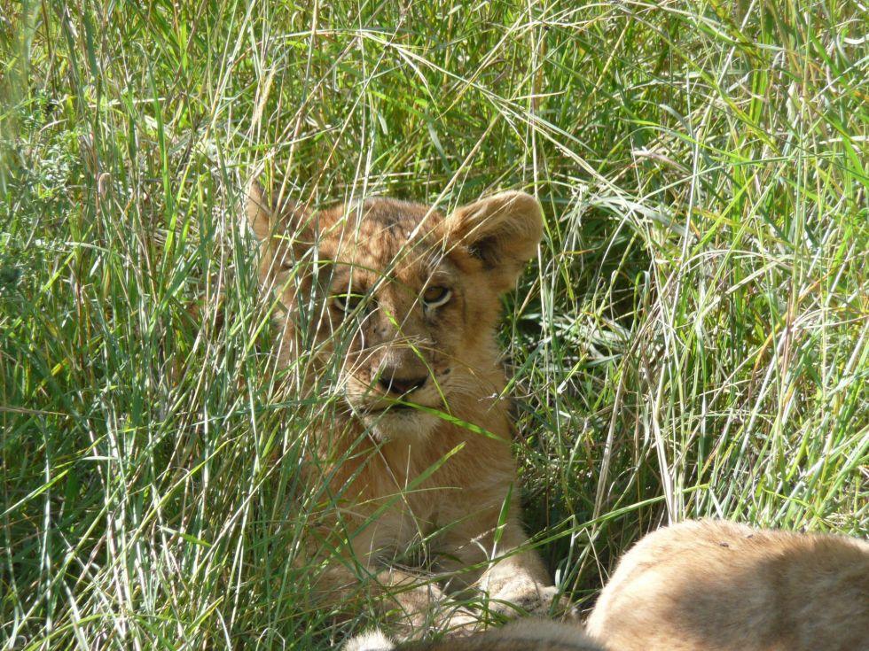 lwy w parku narodowym serengeti