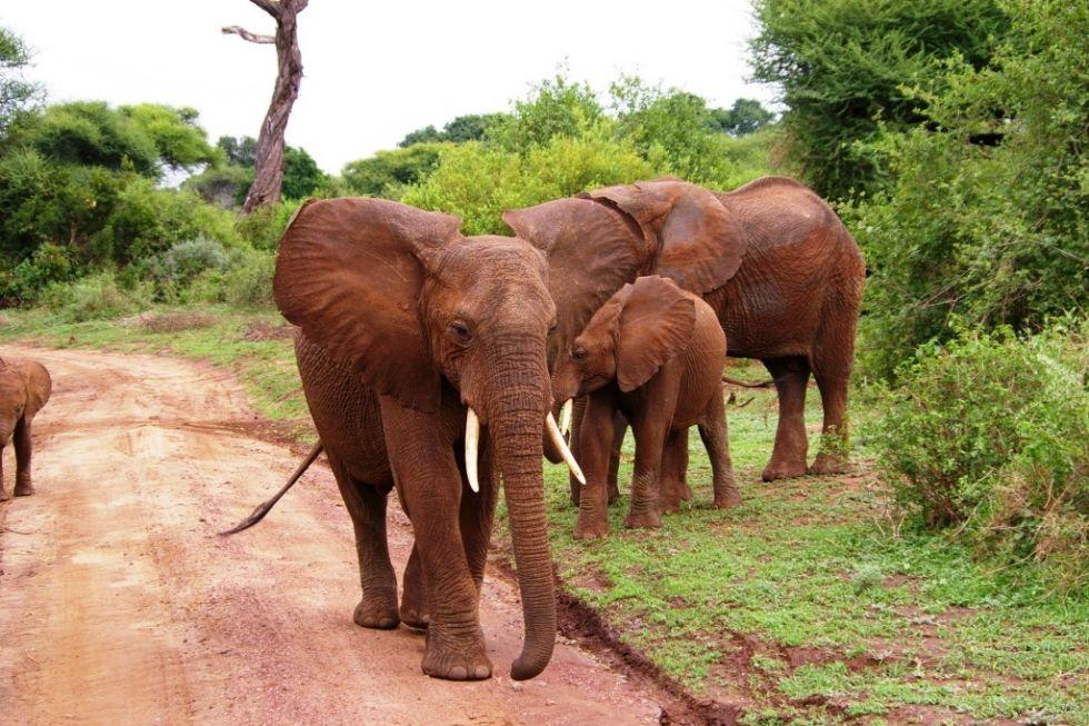 slonie w parku narodowym serengeti