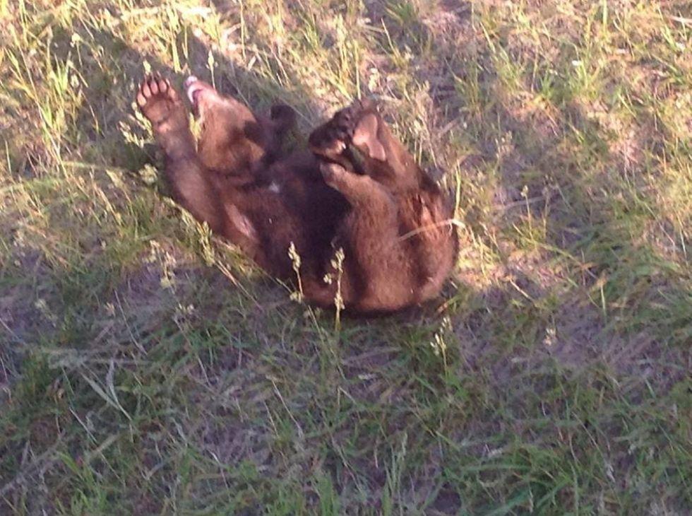 niedzwiadek napotkany w parku narodowym yellowstone