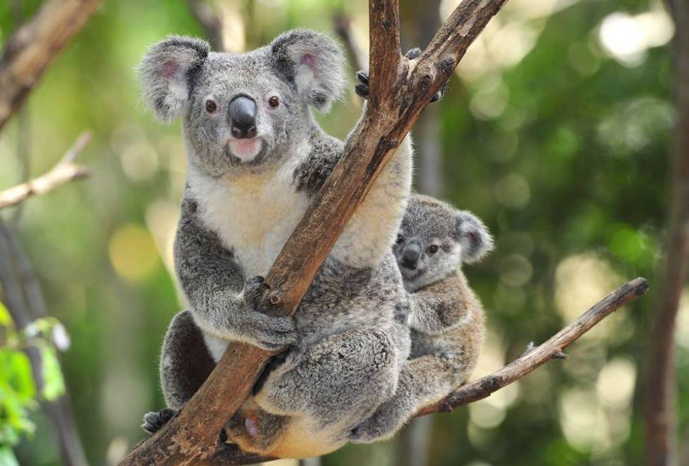 koala w australii