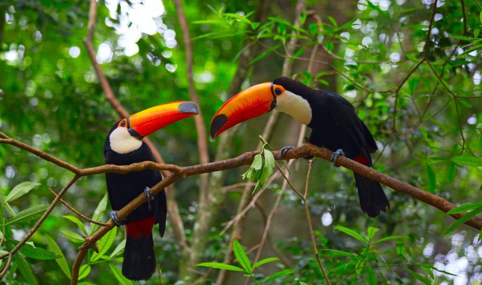 brazylijskie tukany