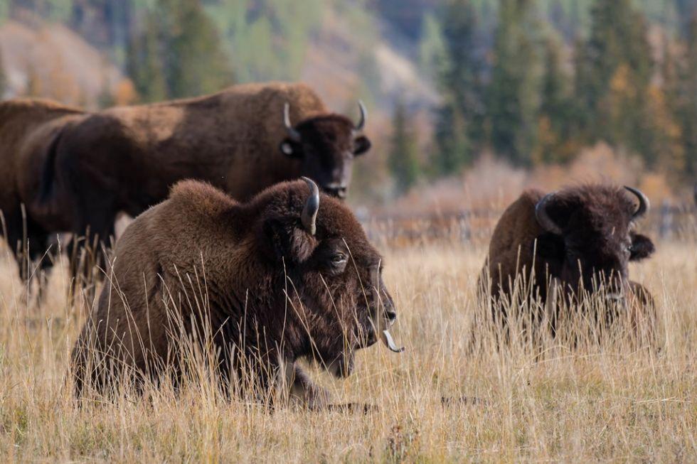 bizony buffalo bill