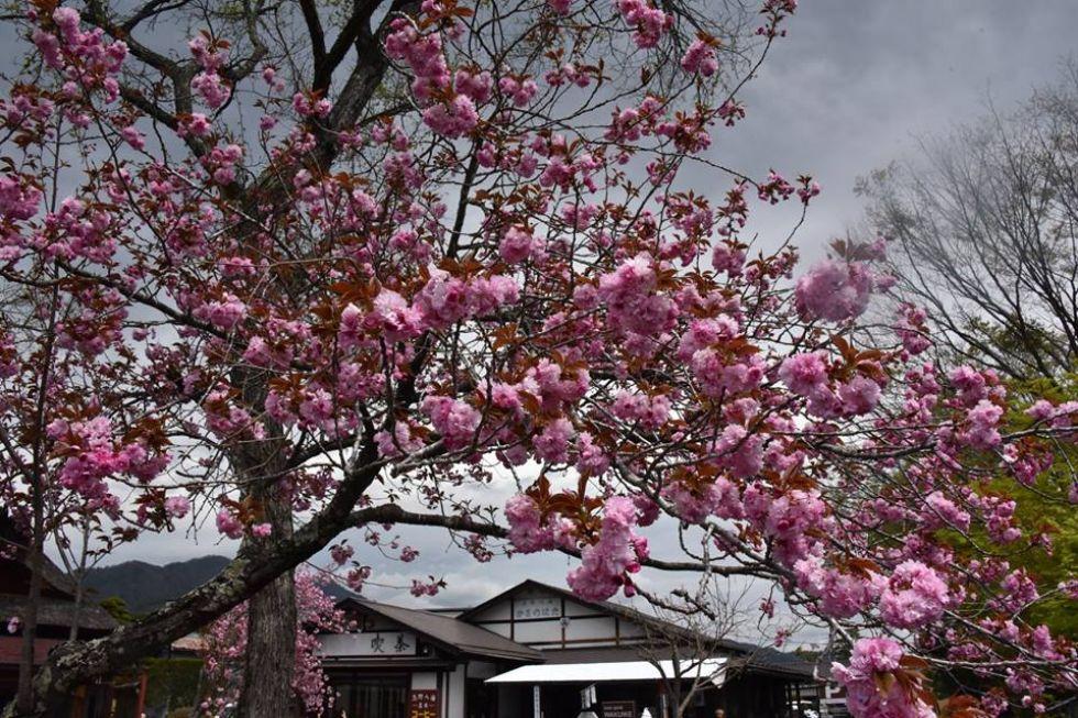 kwitnace wisnie w japonii