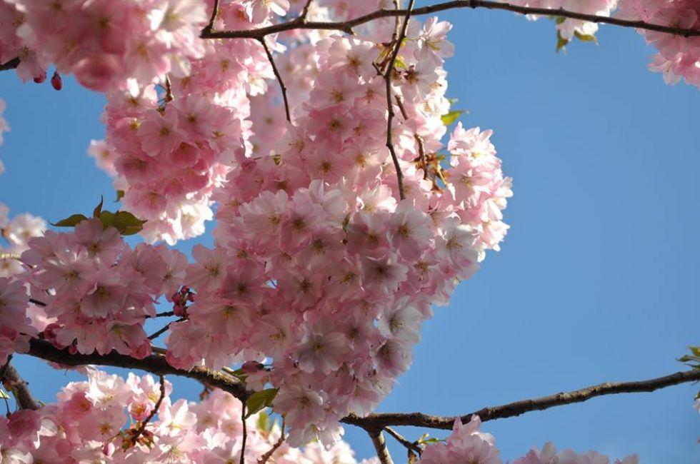 kwitnaca wisnia symbol japonii