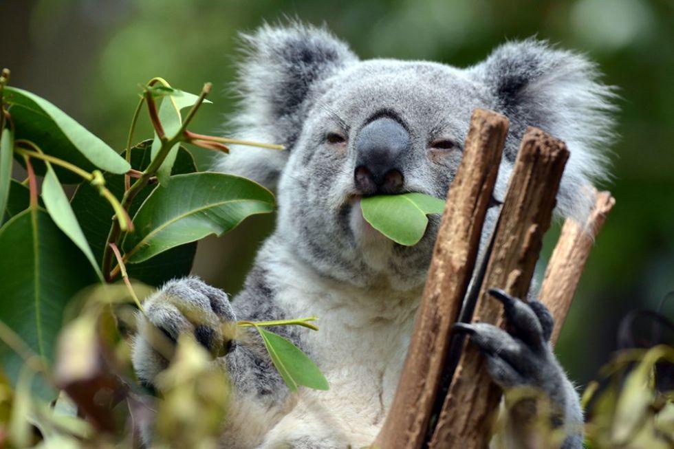 australijski mis koala