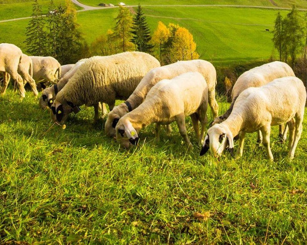 owce-na-pstwiskach-nowej-zelandii