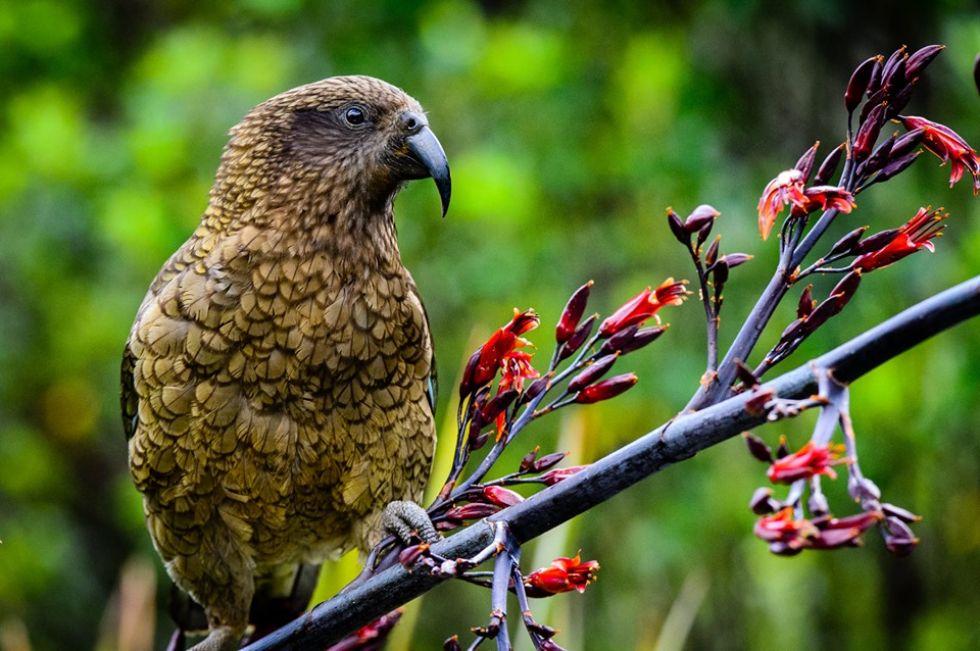 kea-papuga-zyjaca-w-nowej-zelandii