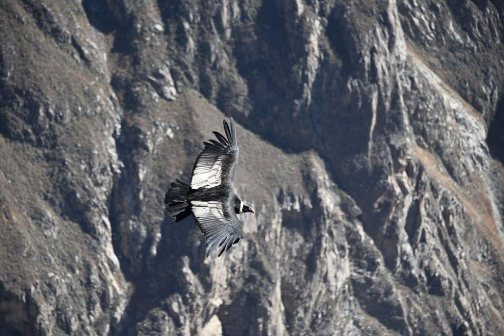 peruwianskie kondory