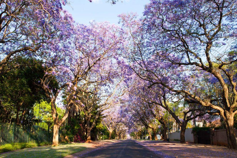 kwitnace afrykanskie drzewa
