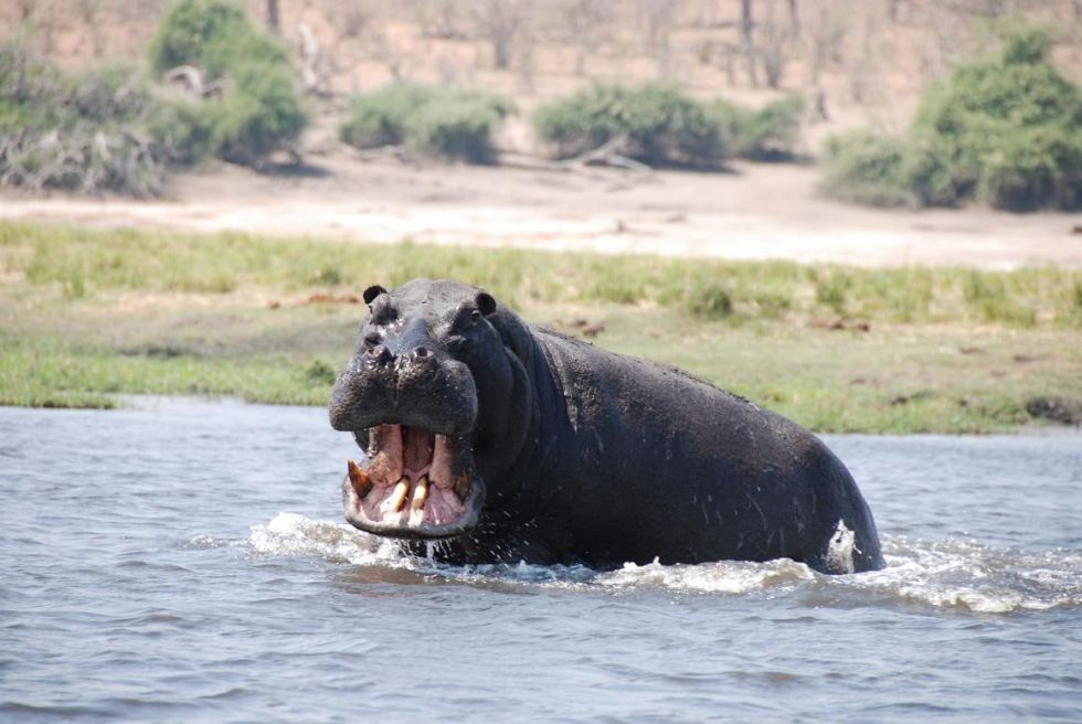 hipopotam jeden z gatunkow nalezacy do wielkiej piatki