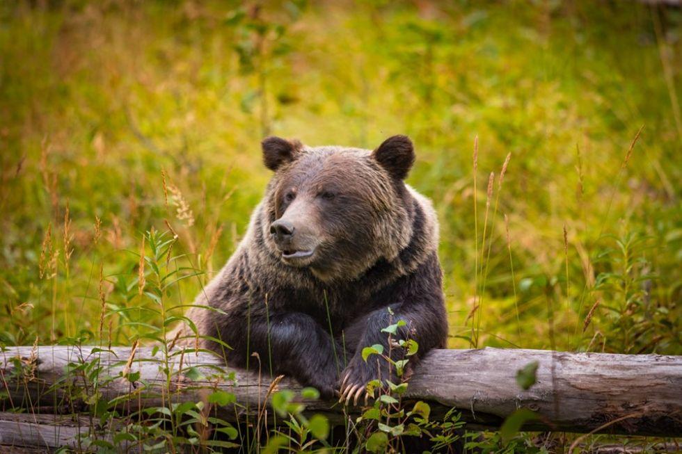 niedzwiedz grizli w stanach zjednoczonych