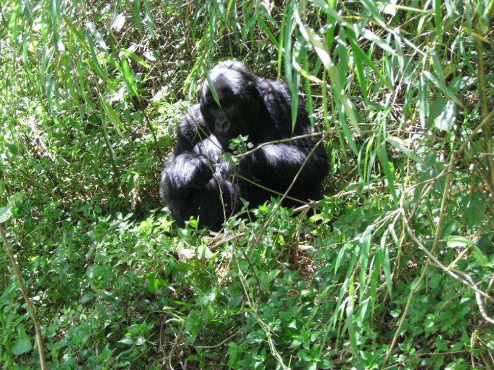 goryle w parku narodowym wulkanow