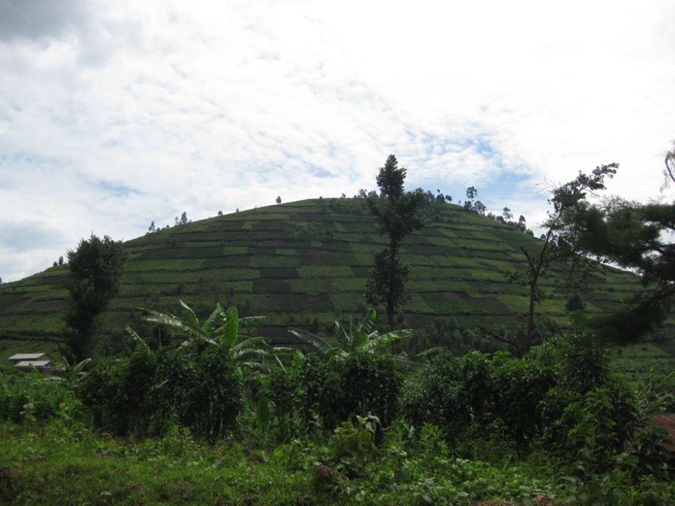 plantacja herbaty w ugandzie
