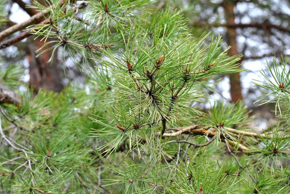 syberyjskie lasy