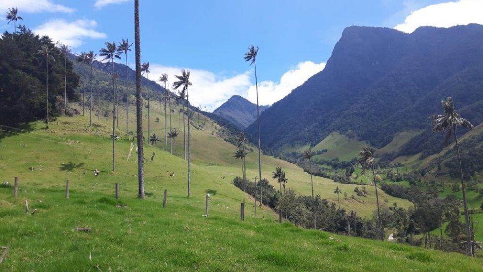 Dolina Cocory z woskowymi palmami.