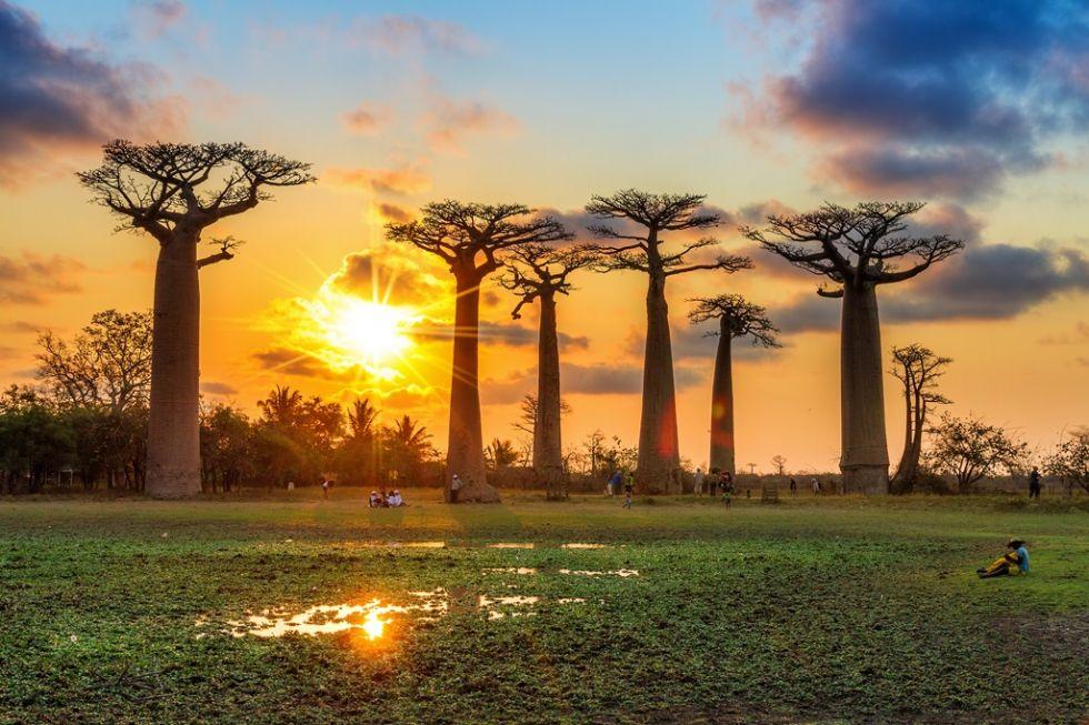 Majdańskie baobaby.