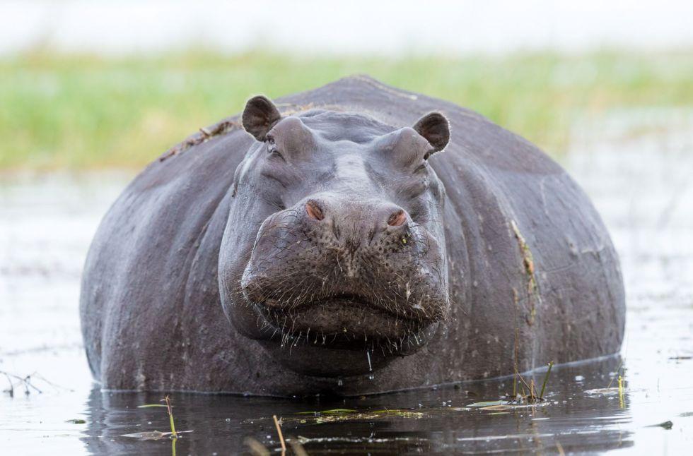 hipopotam napotkany na trasie namibia - botswana -rpa