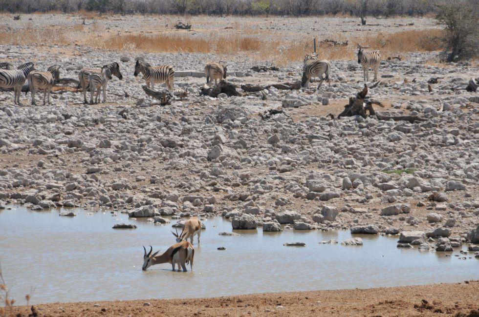 wodopoj dzikich zwierzat w parku narodowym etosha
