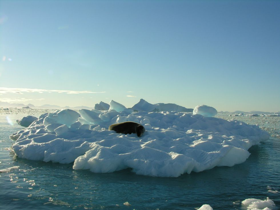 Lampard morski Antarktyda