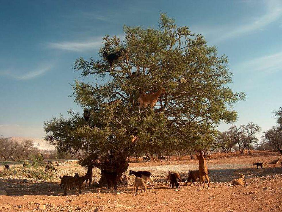 Lozy na drzewie, Maroko