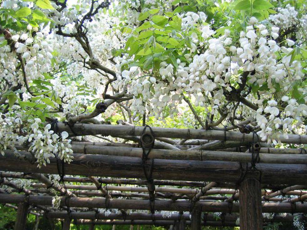 Kwiaty akacji - Japonia - zajwiększe atrakcje zwiedzanie