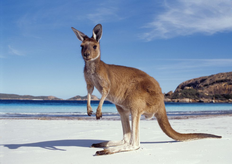 wycieczka do Australii, kangur