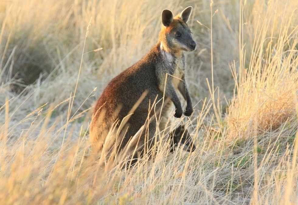 kangur australijski