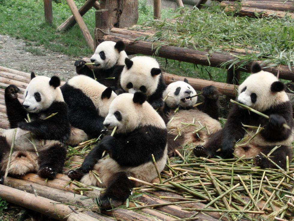Instytut Hodowli Pandy w Czengdu - Chiny.