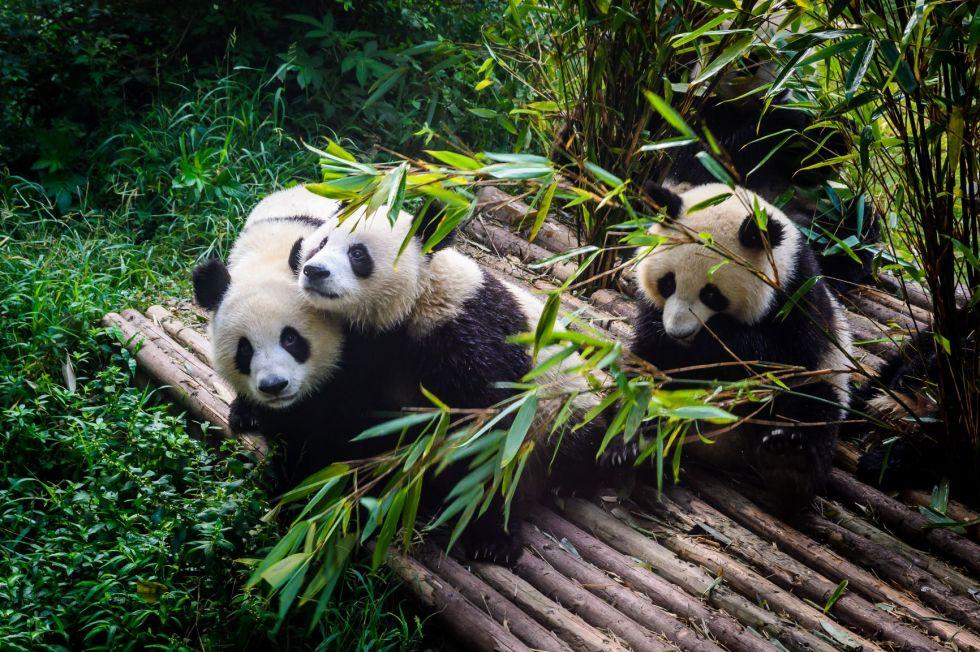 rezerwat pandy wielkiej'