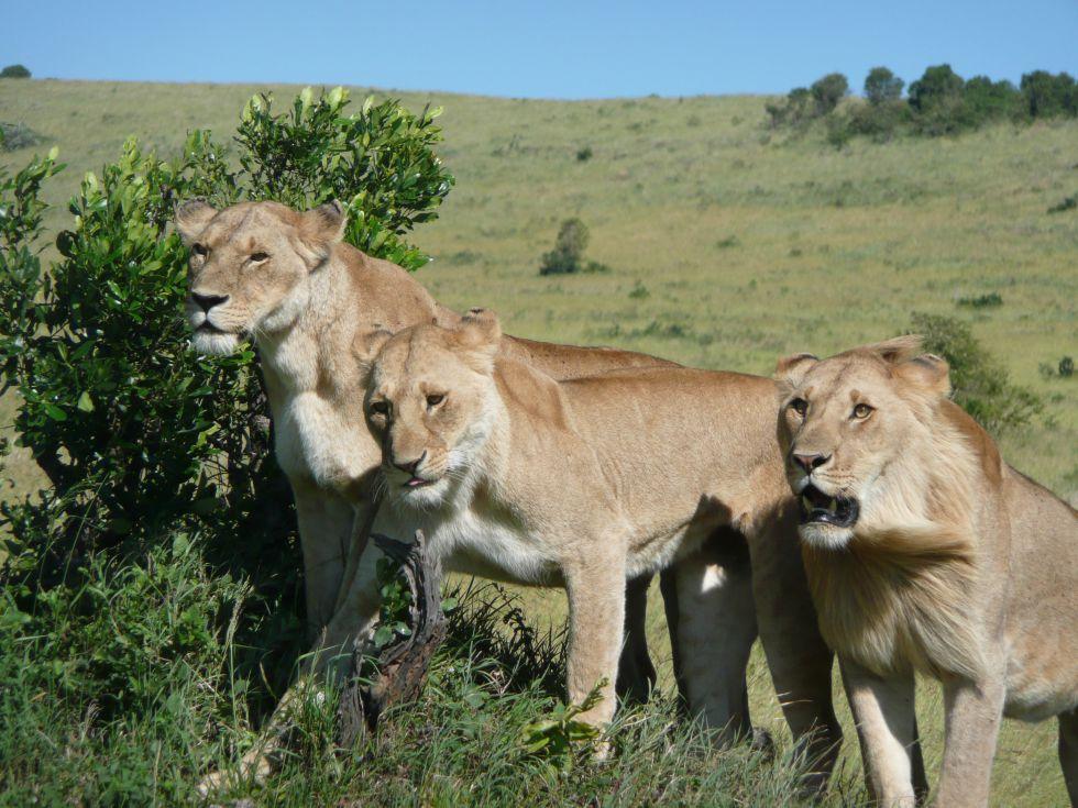 Kenia fotograficzne safari - Masai Mara. Lwy czające się na stado antylop.