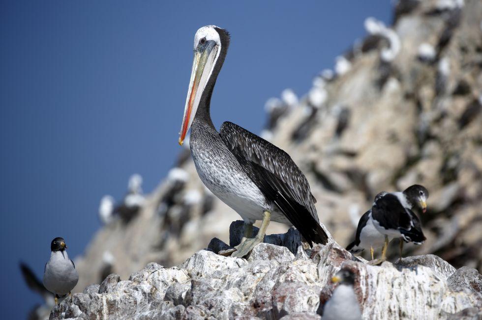 Peru - Paracas - rezerwat ptactwa
