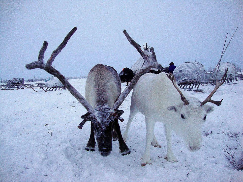 renifery Ural polarny wyprawy