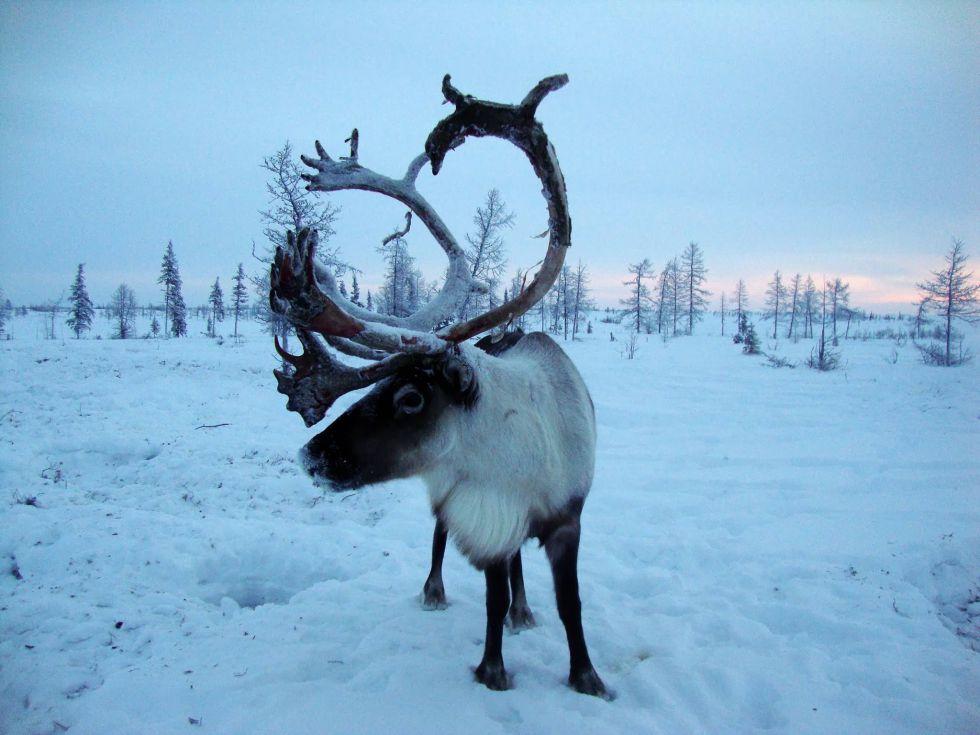 Fotosafari - zwierzęta Uralu Polarnego, Workuta, Syberia