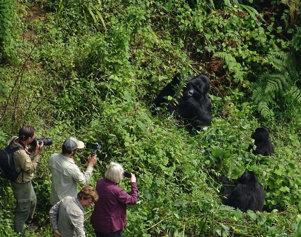 gorilla trekking w parku narodowym bwindi