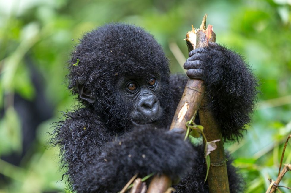 Małpa napotkana na trasie Uganda-Rwanda-Burundi.