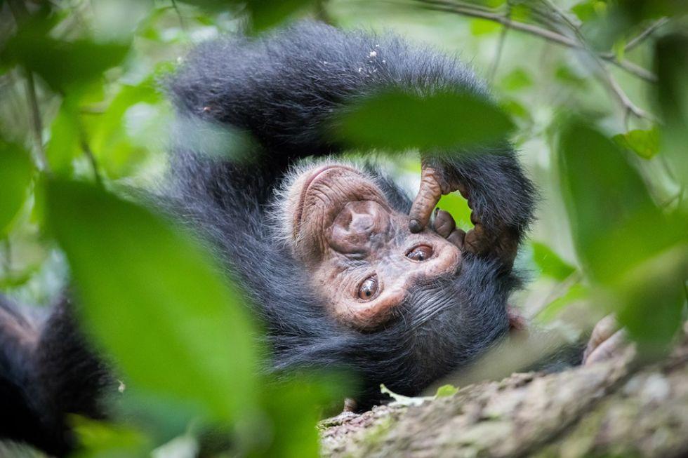 szympans napotkany w kibale forest w ugandzie