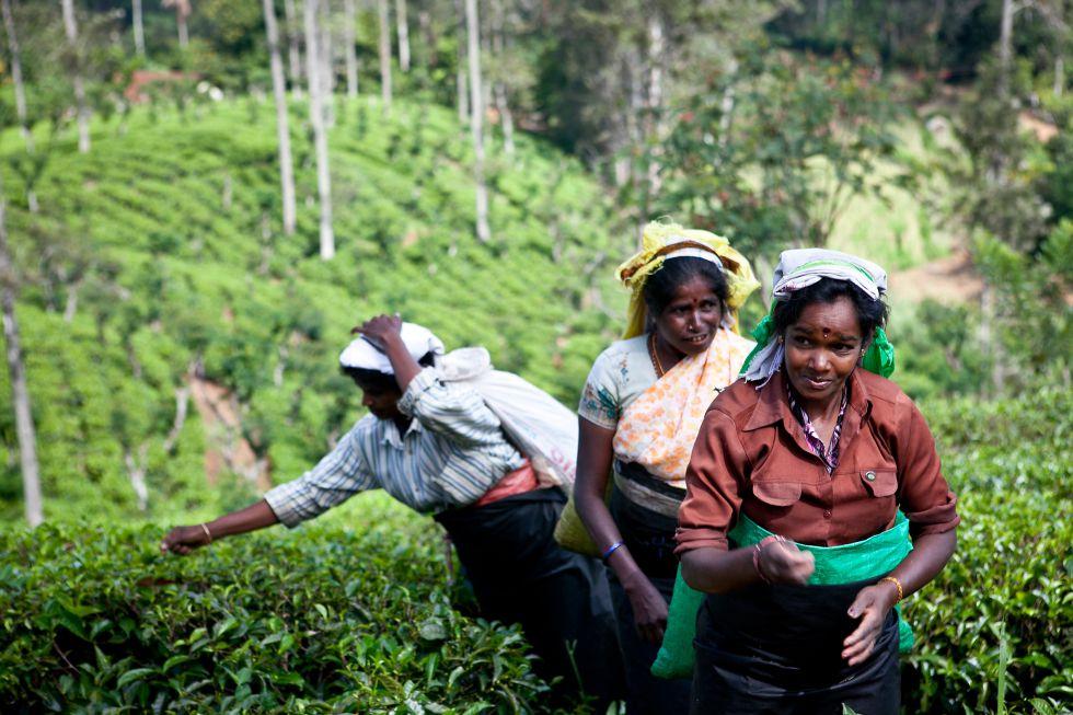 Pola herbaciane. Wycieczka Sri Lanka - Malediwy