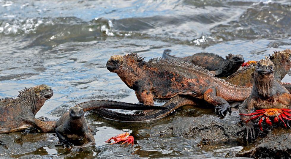 legwany morskie na galapagos