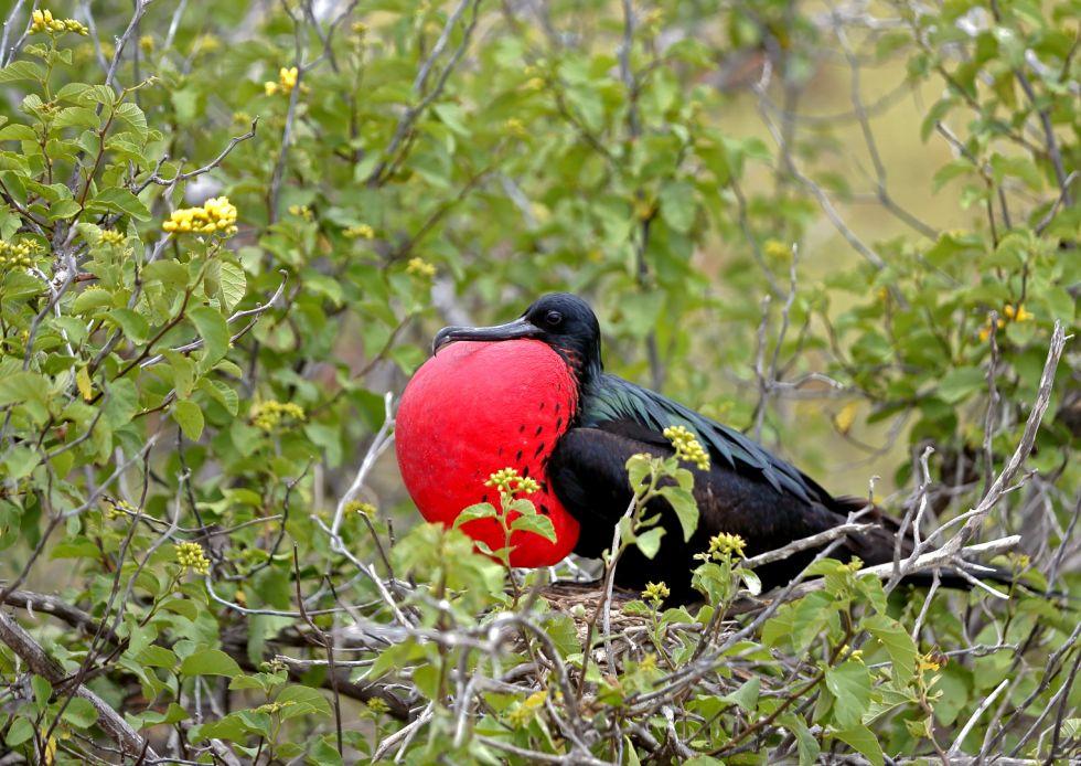 ptaki ekwadoru fregata wielka