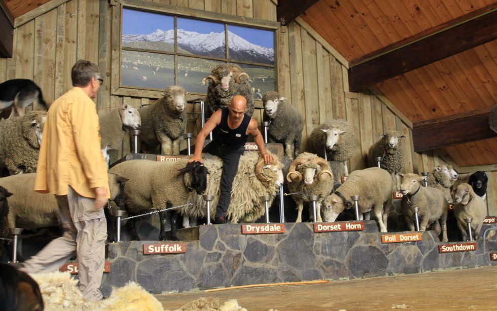 Wyjazd do Nowej Zelandii, pokaz strzyżenia owiec