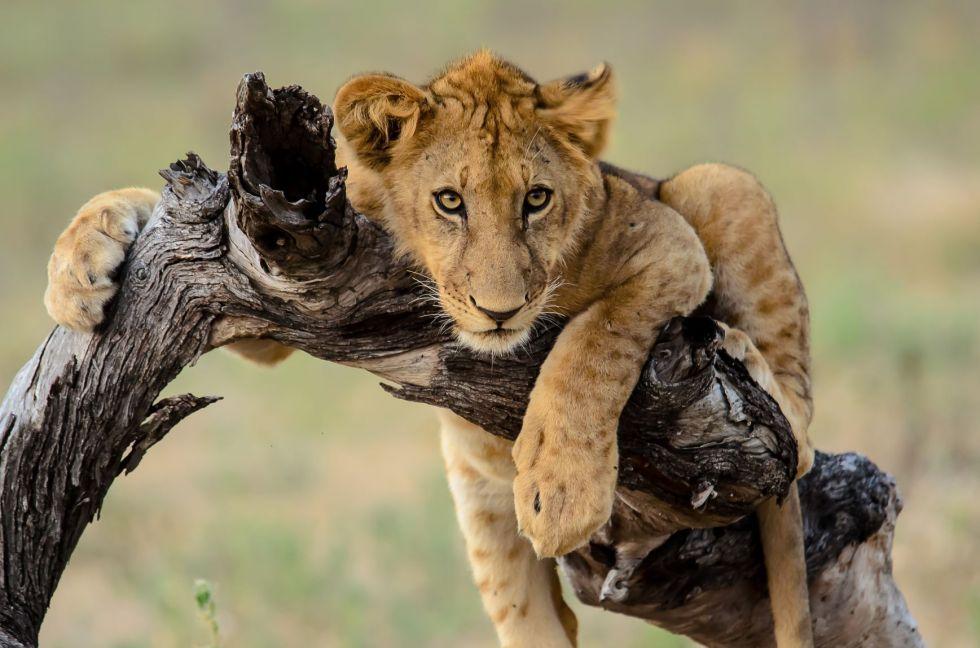 lew w parku narodowym serengeti w tanzanii
